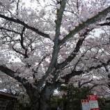 『今週の桜』の画像