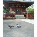 『鳩二匹』の画像