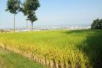 交野の田んぼの稲刈りのお手伝いをやってみた!~美しい田園風景に行ってみた編~