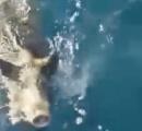 【画像】地中海を泳いでいたイノシシが救出される