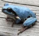青いカエル 埼玉県内で発見相次ぐ