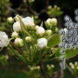 『梨の花』の画像