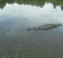 米・ルイジアナ州で記録的大雨、洪水で数匹のワニが脱走