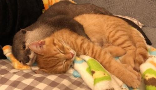 日本で撮影された「子猫を抱かないと眠れないカワウソ」の動画が可愛すぎると海外大感動