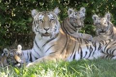 「トラと一体化したかった」 米NY動物園の飛び降り事件