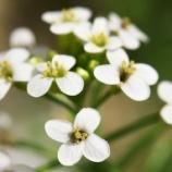 『緑砦館NOW(12)クレソンの花』の画像
