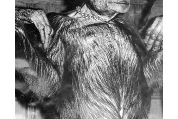 人間とチンパンジーの交配により産まれた混種が過去に存在? ヒュマンジとは・・・