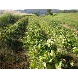 『黒豆作り3』の画像