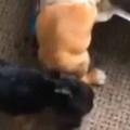 【子イヌ】 カリカリの袋に穴が開いていた。食べ放題だワン♪ → 子犬たちはこうなった…