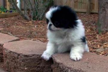 海外「次は絶対狆にする」日本の愛玩犬に外国人がメロメロ