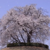 つがの里 満開の桜が咲き誇り、桜吹雪となって舞い踊る!