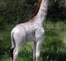 【画像】アフリカで白いキリンが発見される