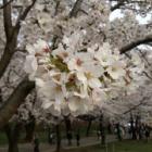 『千本桜@赤城高原』の画像