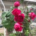 *【酷い!シーザー壊滅的】小庭に2種類つるバラ植えました♪