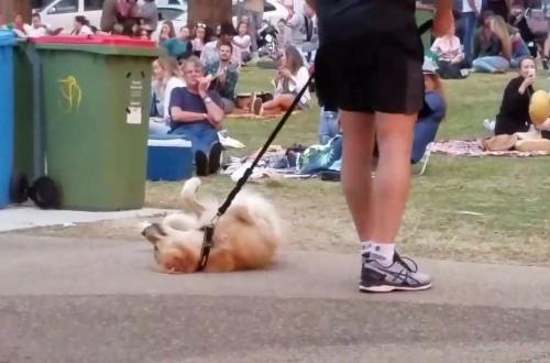 【可愛い】散歩が終わるのが嫌でタヒんだフリする犬 最終的に飼い主が勝ち周りから拍手喝采!のサムネイル画像