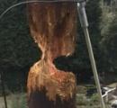 キツツキのせいで木製電柱が倒壊寸前の危機に キツツキ「習性だし仕方ねーだろw」