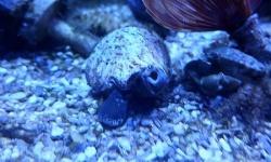 【画像】うちの水槽の貝さん、ガチで気持ち悪い