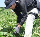 パワーアシストスーツを装着した農家が収穫作業 長時間作業も楽々
