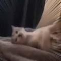 子ネコが寝転んで遊んでいた。これは離さんぞぉ! → 犬の「しっぽ」にこうなります…