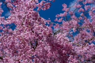 十津川村で桜と温泉