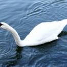 皇居の堀の白鳥-37