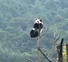 落下注意な木登りパンダ「無事下りられた?」と世界中から心配される