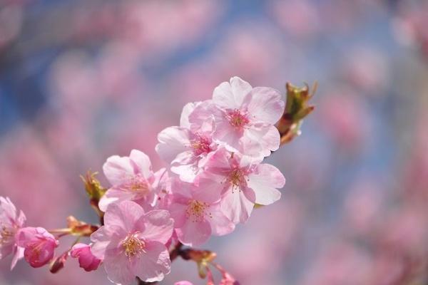 苗 原木 の どこ は の 河津 が た 桜 見つかっ
