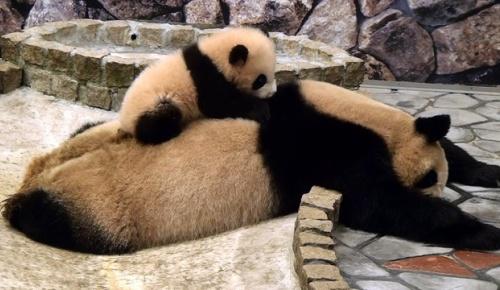 和歌山アドベンチャーワールドのパンダ動画を見た海外の反応