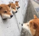 【モフモフ】走って行った先になぜかネコ…動画再生回数が400万突破 柴犬の子犬2匹が雪原で大はしゃぎ