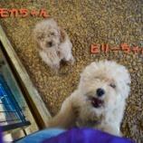 『元気が良すぎる双子ちゃん☆子犬(6ヶ月未満)はトリミングが30%OFF』の画像