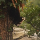 ズーラシアの「レッサーパンダ」