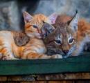 【画像】育児放棄されたオオヤマネコを育てる普通のネコ どっちが親かわからないと話題に