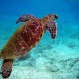 『ケイマン諸島でアオウミガメの大量死』の画像