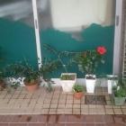 『(´-ω-`)本日の誕生花は赤いハイビスカス』の画像