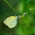 20210911 大和川で見た蝶たち