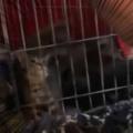 子ネコたちはゴハンの時間になった。ケージの扉を開けてみる → 1匹の子猫はこうなっちゃう…