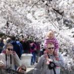 韓国人「米国の桜祭りを非難する韓国メディア」