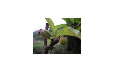 『桃の実なる』の画像