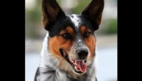 【動物】   卓越した運動能力!!壁蹴りジャンプにスケボーにキックボード、運動神経抜群の犬、ジャンピー  海外の反応