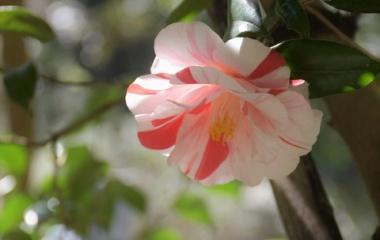 『春は椿・11 古金欄』の画像