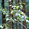 キッコウハグマが咲きました