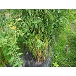 『トマトが青枯れ病を発症! ナス・トマト・ピーマンの連作障害! 感染拡大中。さらに、台風第8号 (ノグリー)が接近中!家庭菜園の台風対策2014年版。』の画像