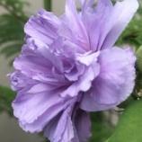 『夏バテのムクゲが回復! 儚い花だけど凛として美しい!!』の画像