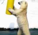 ホッキョクグマ「ミルク」 直立して歩く姿がかわいいと動画サイトで人気/釧路市動物園_