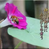 『朝顔とミツバチ』の画像