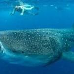 石川の水族館がジンベエザメを海に帰す 大きくなりすぎて飼育できず…