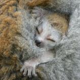 『お母さんに埋もれるカンムリキツネザルの赤ちゃん』の画像
