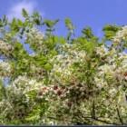 『文冠果がきれいに咲いています。』の画像