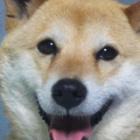 『梅雨。いやしの柴犬と戯れるっ。』の画像