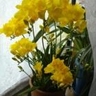 『温度管理で上手に咲かせる幸せ色の黄色いフリージア』の画像